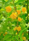 Kerria japonica or Pleniflora — Stock Photo