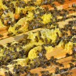 Bees swarming on a honeycomb — Stock Photo #67788575