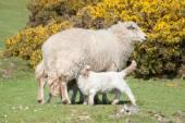 Lambs suckling — Stock Photo