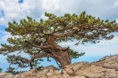 Relict pine tree in the Crimean mountains. — Stock Photo