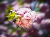 Sakura. Cherry blossom branch — Stock Photo
