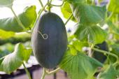 Winter melon — Stock Photo