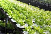 Lettuce farm — Stock Photo