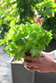 Hand harvesting lettuce farm — Stock Photo
