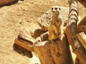 Meerkat at Zoo — Stock Photo