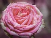 Pink rose flower — Stock Photo