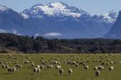 Lambs in New Zealand — Stock Photo