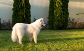 Samoyed dog outdoor — Stock Photo