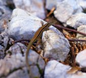 Tiny brown lizard — Stock Photo