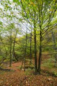 Deciduous forest with fallen leaves — Stock Photo