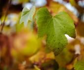 Vine leaf — Stock Photo