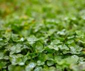 Clover leaves with dew drops — Stock Photo