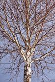 Barren birch tree — Stock Photo