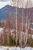 Birch trees on mountain — Stock Photo