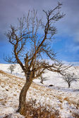 Plum orchard in winter — Stock Photo