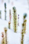 Frozen baby fir — Stock Photo