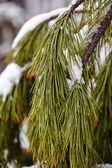 Frozen pine branch — Stock Photo
