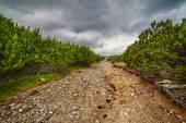 Dirt road through dwarf pines — Stock Photo