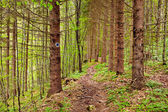Footpath through a pine forest — Stock Photo