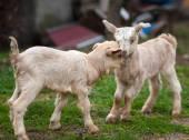 Cute baby goats — Stockfoto