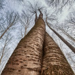 Two trees twisted on each other — Stock Photo #69599203