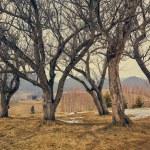 Group of hornbeam trees — Stock Photo #70315063