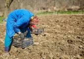 Women sowing potato tubers — Stock Photo
