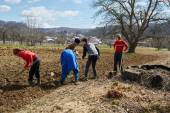 People sowing potato tubers — Stock Photo
