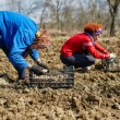 Family sowing potatoes — Stock Photo #70660491