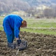 Woman sowing potatoes — Stock Photo #70660535