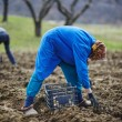 Family of peasants sowing potatoes — Stock Photo #70660549