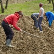 Family of peasants cultivating potatoes — Stock Photo #70660653