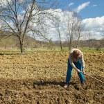 Senior woman covering potatoes — Stock Photo #70660687