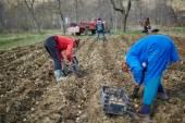 Family of peasants planting potatoes — Stock Photo