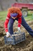 Woman sowing potatoes — Stock Photo