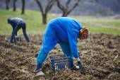 Family of peasants sowing potatoes — Stock Photo