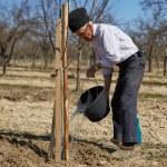 Senior farmer planting a plum tree — Stock Photo #71294975