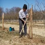 Senior farmer planting a plum tree — Stock Photo #71294993