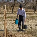 Senior farmer planting a plum tree — Stock Photo #71295001