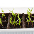 Pepper seedlings in a nursery — Stock Photo #71295143