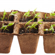 Pepper seedlings in a nursery — Stock Photo #71295153