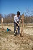 Senior farmer planting a plum tree — Stock Photo