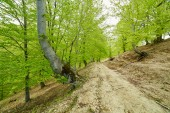 Country road trough a beech forest — Stock Photo