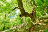 Huge and old linden tree in the forest — Stock Photo