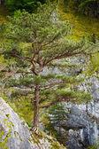 Pinus nigra on mountains peak — Stock Photo
