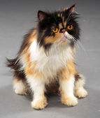 Persian cat with brown eyes — Stock Photo