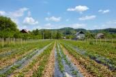 Domácí pěstované jahodová pole — Stock fotografie