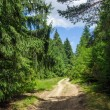 Country road through pine forest — Stock Photo #79205668