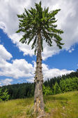 Lonely secular fir tree — Stock Photo