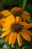 Orange echinacea flowers — Stock Photo